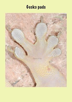 Gecko Pads, Natue 4 You, gecko foot, reptile,lizard