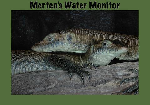 Merten's Water Monitor, Nature 4 You, lizard, goanna, reptile