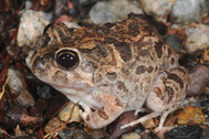 Spencer's Burrowing Frog, Platyplectrum spenceri