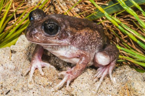 Sand Frog