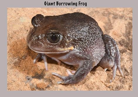 Giant Burrowing Frog, Nature 4 You, Australian frog, amphibian