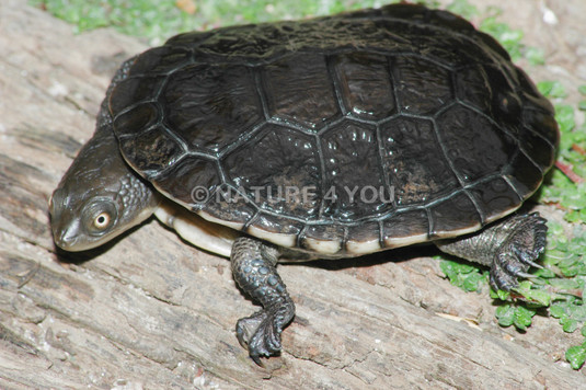 Common Long-neck Turtle