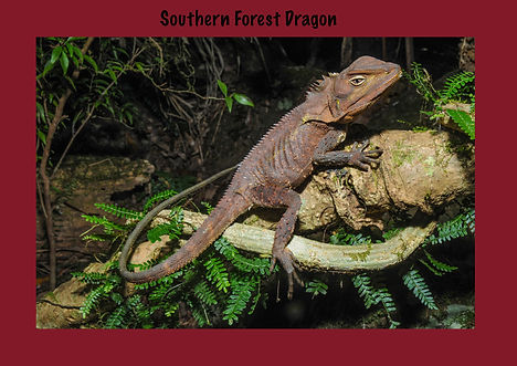 Southern Forest Dragon, Nature 4 You, dragon, lizard, reptile