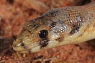 Eastern Hooded Scaly-foot, Pygopus schraderi