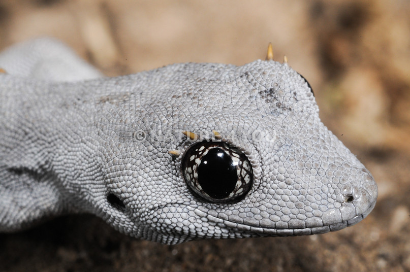 Kirsten's Spiny-tailed Gecko