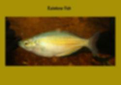 Rainbow Fish, Nature 4 You