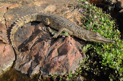 Freshwater Crocodile, Crocodylus johnstoni