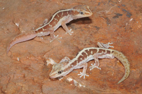 Pale-striped Ground Gecko, Lucasium immaculatum