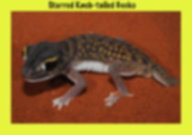 Starred Knob-tailed Gecko, Nature 4 You, reptile, gecko, lizard