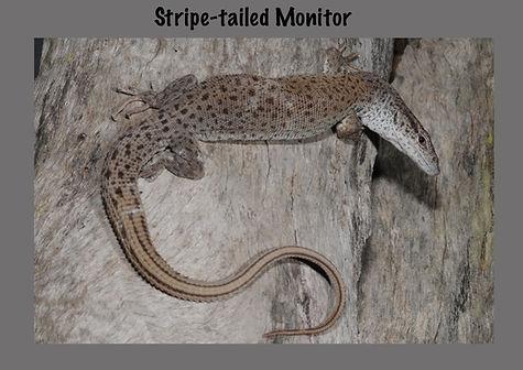 Stripe-tailed Monitor, Nature 4 You, monitor, goanna, reptile