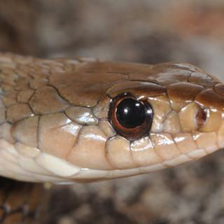 Keelback,  Tropidonophis mairri