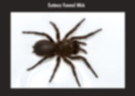 Sydney Funnel Web, spider, Nature 4 You