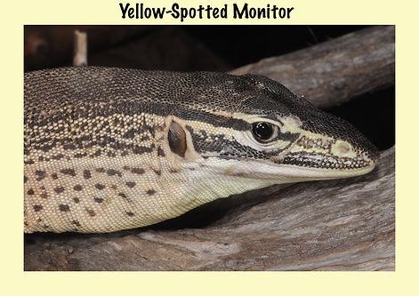 Yellow-spotted Monitor, Nature 4 You, goanna, monitor, lizard, re
