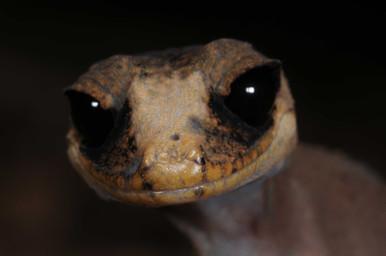 Chameleon Gecko, Carphodactylus laevis
