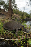 White-throated Snapping Turtle, Elseya albagula
