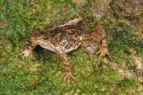 Eungella Torrent Frog, Taudactylus eungellensis