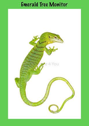 Emerald Tree Monitor, Nature 4 You, monitor, goanna, reptile