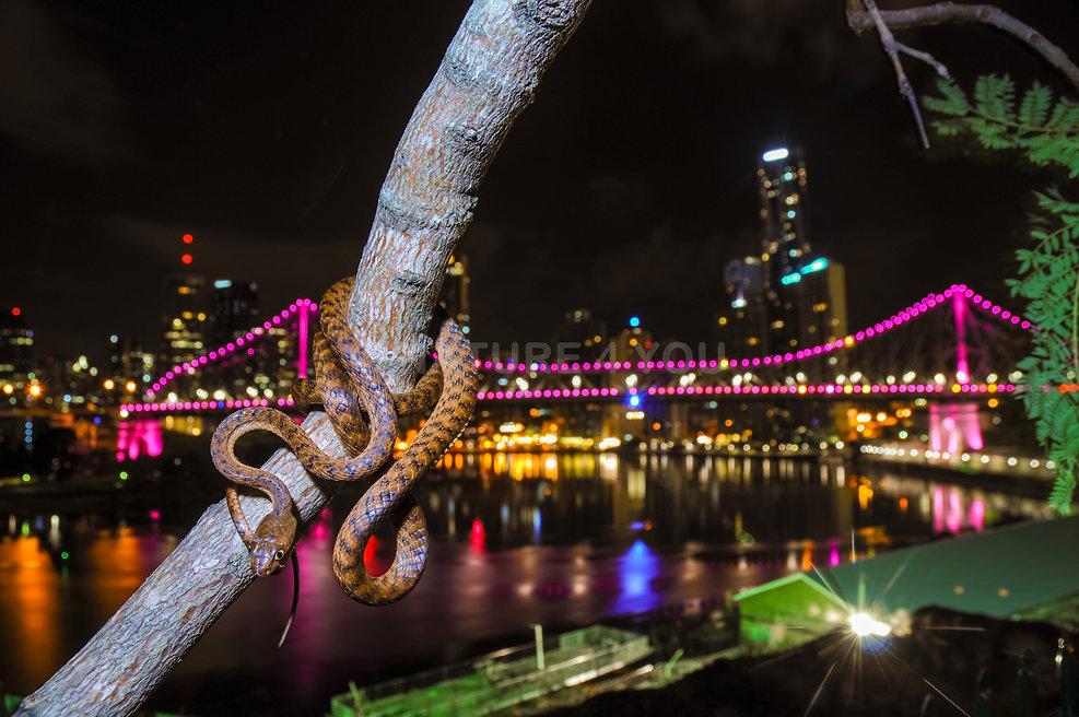 Brown Tree Snake, Boiga irrgularis, Brisbane, Logan Snake Catcher, wildlife photography, snake, reptile, colubrid