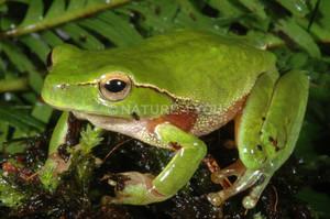 Leaf green Stream Frog