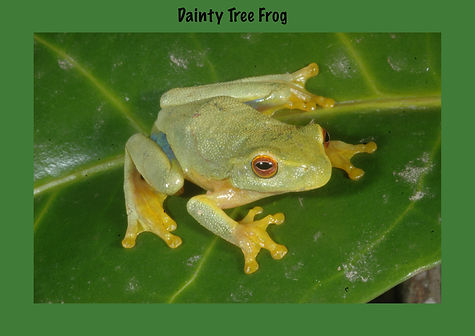 Dainty Tree Frog, Nature 4 You, Australian Frog