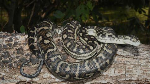 Western Carpet Python, Morelia imbricata