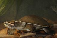 Jardine River Turtle, Emydura worrelli