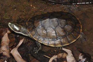 Northern Yellow-faced Turtle, Emydura tanybaraga