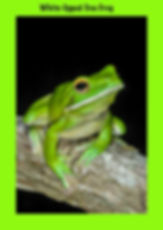 White-lipped Tree Frog, Nature 4 You, frog, amphibian