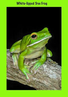 White-lipped Tree Frog, Nature 4 You, frog, amphibian