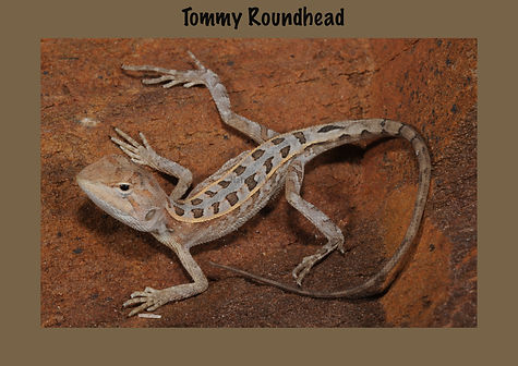Tommy Roundhead, Nature 4 You, dragon, lizard