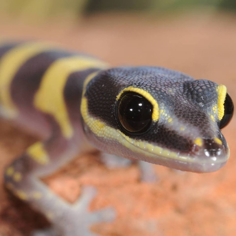 Beautiful Velvet Gecko