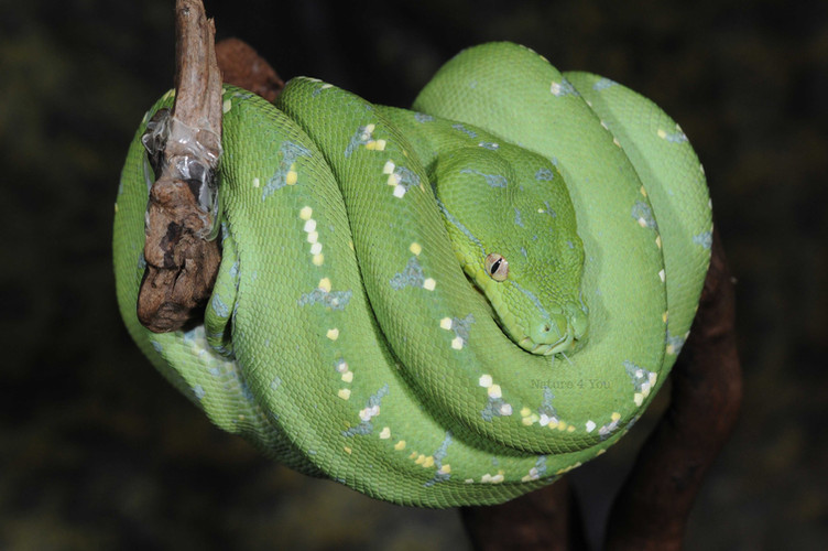 Our years of owning and breeding Australian reptiles has given us the experience and knowledge which helped us immensly with our literary and linguistic achievements.