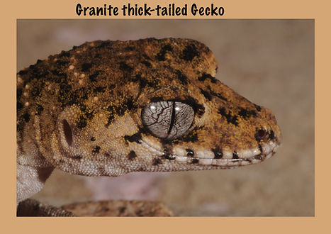 Granite Thick-tailed Gecko, lizard, Nature 4 You, gecko, reptile