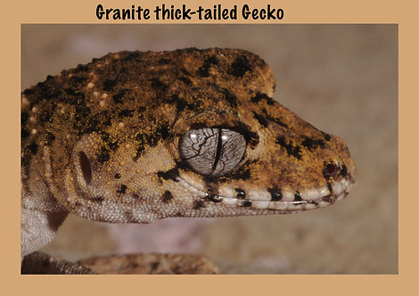 Granite Thick-tailed Gecko, lizard, Nature 4 You, gecko, reptile