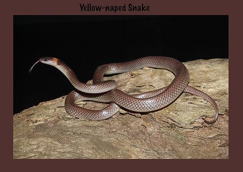 Yellow-naped Snake, Nature 4 You, venomous snake, elapid, reptile