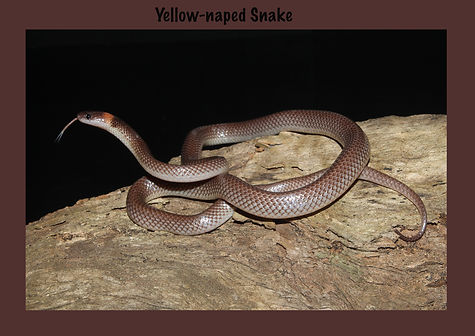 Yellow-naped Snake, Nature 4 You, venomous snake, elapid, reptile