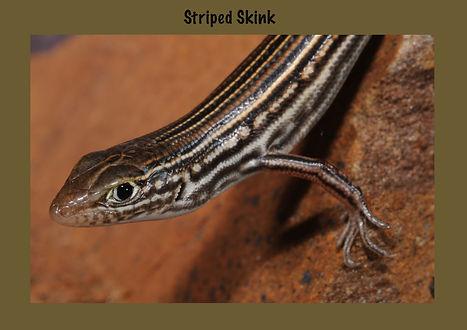 Striped Skink, Nature 4 You, skink, reptile, lizard