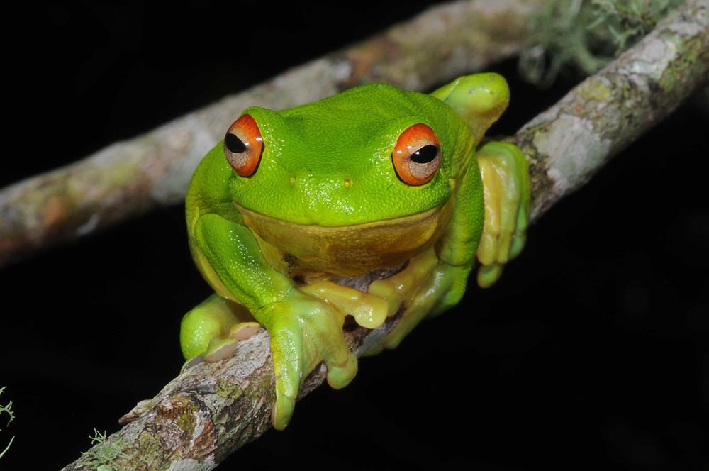 Red-eyed Tree Frog, Litoria chloris