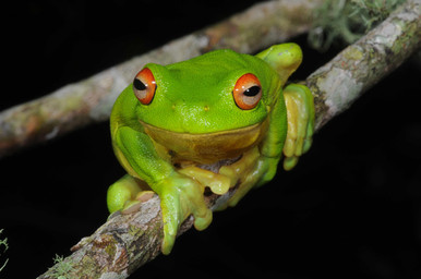 Red-eyed Tree Frog,  Litoria chloris
