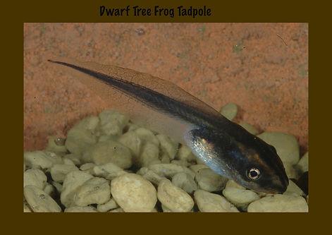 Dwarf Tree Frog Tadpole, Nature 4 You, Australian frog, amphiban