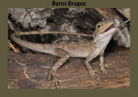 Burns Dragon, Nature 4 You, dragon, lizard