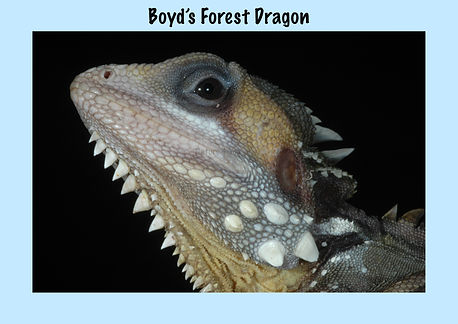 Boyd's Forest Dragon, Nature 4 You, dragon, lizard