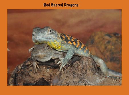 Red Barre Dragon, Nature 4 You, dragon, lizard