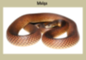 Mulga, King Brown, Pseudechis austrlis, Nature 4 You, elapid, venomous snake, reptile