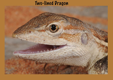 Two-lined Dragon, Nature 4 You, lizard, dragon, reptile