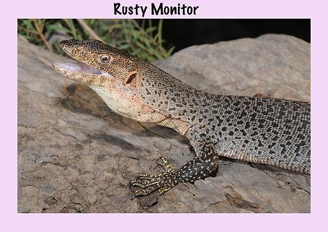 Rusty Monitor, Nature 4 You, goanna, reptile