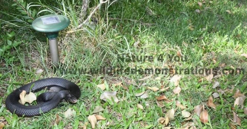 Red-bellied Black Snake basking next to a snake repeller.