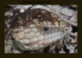 Shingleback Lizard, Tiliqua rugosa, Nature 4 You, lizard, skink, reptile