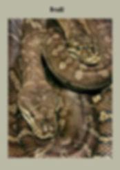 Centralian Carpet Pyton, Morelia bredli, Nature 4 You, snake, python, reptile