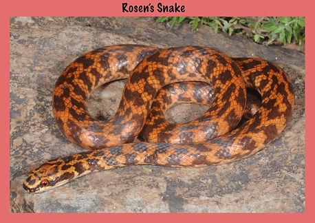 Rosen's snake, Nature 4 You, Suta fasciata, elapid, venomous snake, reptile, snake